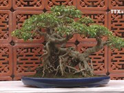 Art of bonsai appeals to more people