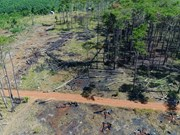 Dak Nong: Pine forests along Highway 28 being wiped out