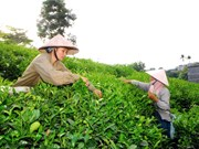 Businesses, farmers struggle to develop tea brands