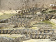 Crocodile farmers warned of possible oversupply