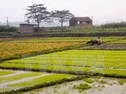 Rice crops yield higher despite El Nino