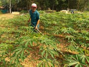 Japan helps Vietnam deal with cassava diseases