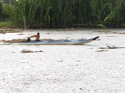 Early summer rain alleviates saltwater in Hau Giang