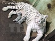 WWF urges closure of all tiger farms in Asia