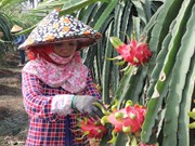 Australia to import fresh Vietnamese dragon fruit