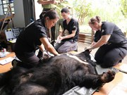 Six Asian bears rescued in Dak Lak province