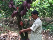 "VN's cocoa receives ""fine flavour"" designation from Int'l Cocoa Organi"