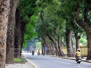 Singapore called to help Hanoi with trees management