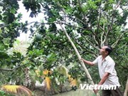 Ben Tre restructures agriculture to adapt to climate change