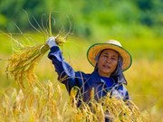 Thailand promotes large-scale rice farms