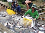VASEP: Tra fish exports could be hurt by false news