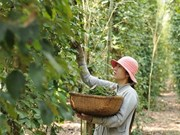Pepper-based ecotourism promoted in Phu Quoc