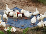 Nghe An province takes action to curb avian flu