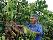 Buon Ma Thuot coffee festival slated for March