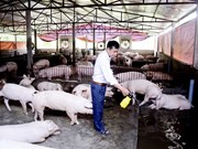 Vietnam confronts pig farming surplus