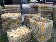 Quang Ninh: 12,000 smuggled chickens culled