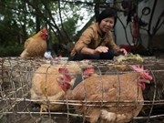 Ministry warns of risk of avian influenza A intrusion in Vietnam
