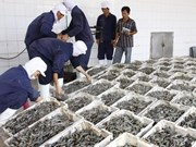 Mekong Delta's raw shrimp prices soar