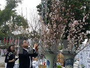 Cherry blossom festival underway in Hanoi