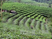 Japanese firm wants to join Vietnam's tea industry