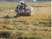 Mekong Delta's rice yield rises in winter-spring crop