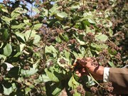 Poor crop hurts cashew farmers