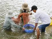 Action plan drafted to develop shrimp sector