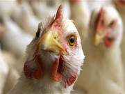 Vietnam on high alert of avian influenza virus intrusion