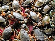 Ca Mau develops ecological crab farming