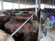 Central Highlands develops large-scale cattle farming