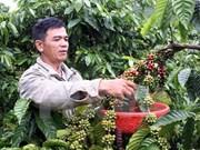 Five coffee nurseries enabled to join VnSAT project in Dak Nong