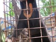 Bile farming decimates wild bears