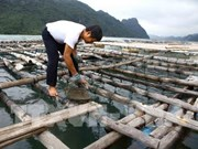 Quang Ninh authorities probe cause of oyster deaths