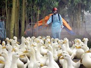 Dak Lak: bird flu forces cull of 3,565 poultry
