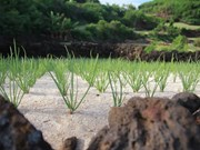 Ly Son to develop organic garlic farm