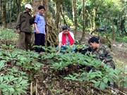 221 million USD Ngoc Linh ginseng project launched