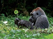Action plan on primate conservation adopted