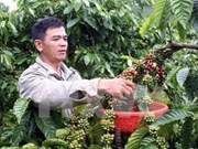 Central Highlands to cut coffee cultivation area