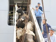 Vinamilk imports over 2,000 cows from US