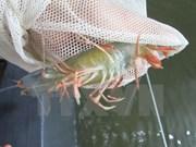 Ca Mau targets shrimp exports of 2 billion USD by 2020