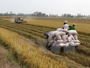 Northern provinces enjoy bumper Winter-Spring rice harvest