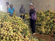 Bac Giang to export half of lychee output
