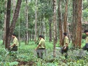 Central Highlands to plant 12,500 hectares of forest