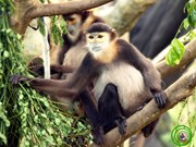 Threatened langur species found in Dong Nai province