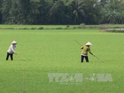 Mekong Delta sees drop in Fall-Winter rice areas