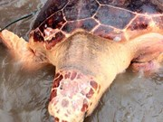 Quang Tri: Turtle at risk of extinction released into wild