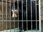 Microchips re-implanted in 200 captive bears in Hanoi