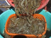 Dong Thap wants no white-leg shrimp farming in freshwater areas