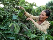 Coffee value to increase despite output dropping