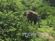 Hungry wild elephants hurt domestic ones